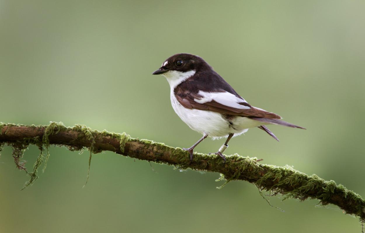 Pied Flycatcher. Edmund Fellowes
