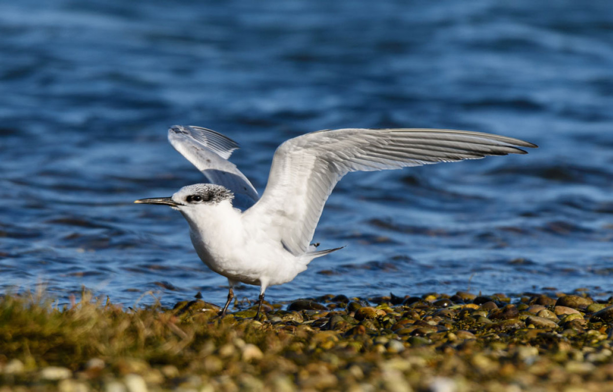 Sandwich Tern. Philip Croft.