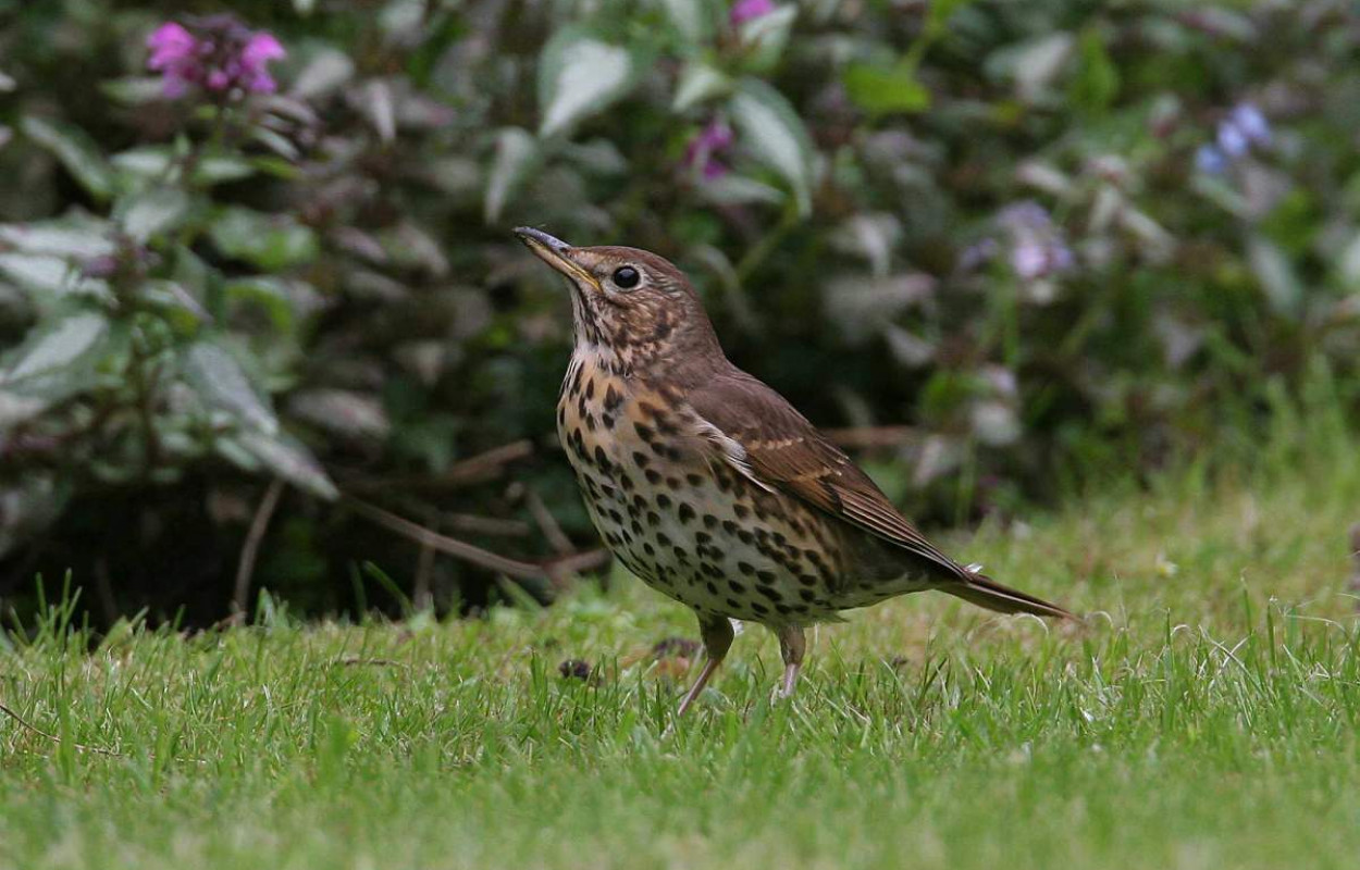 Song Thrush. Jill Pakenham.