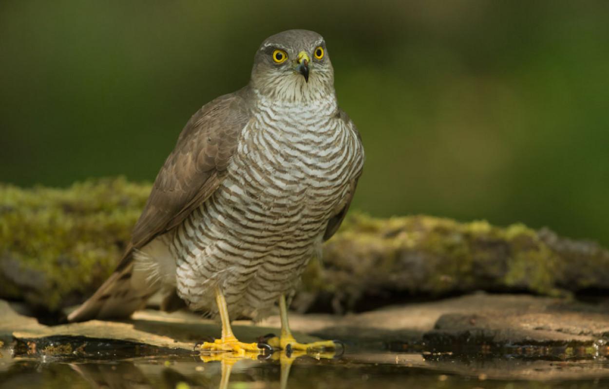 Sparrowhawk. Edmund Fellowesv