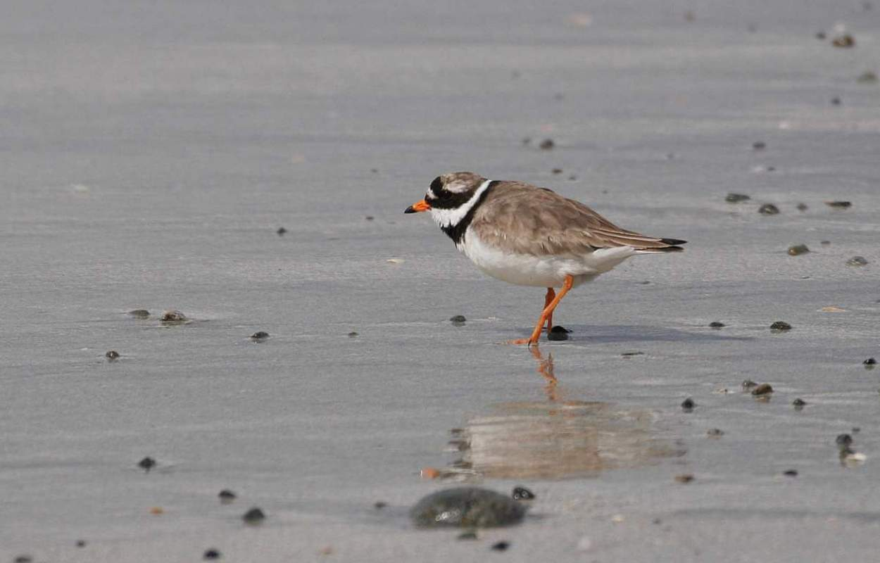Ringed Plover, photograph by Jill Pakenham