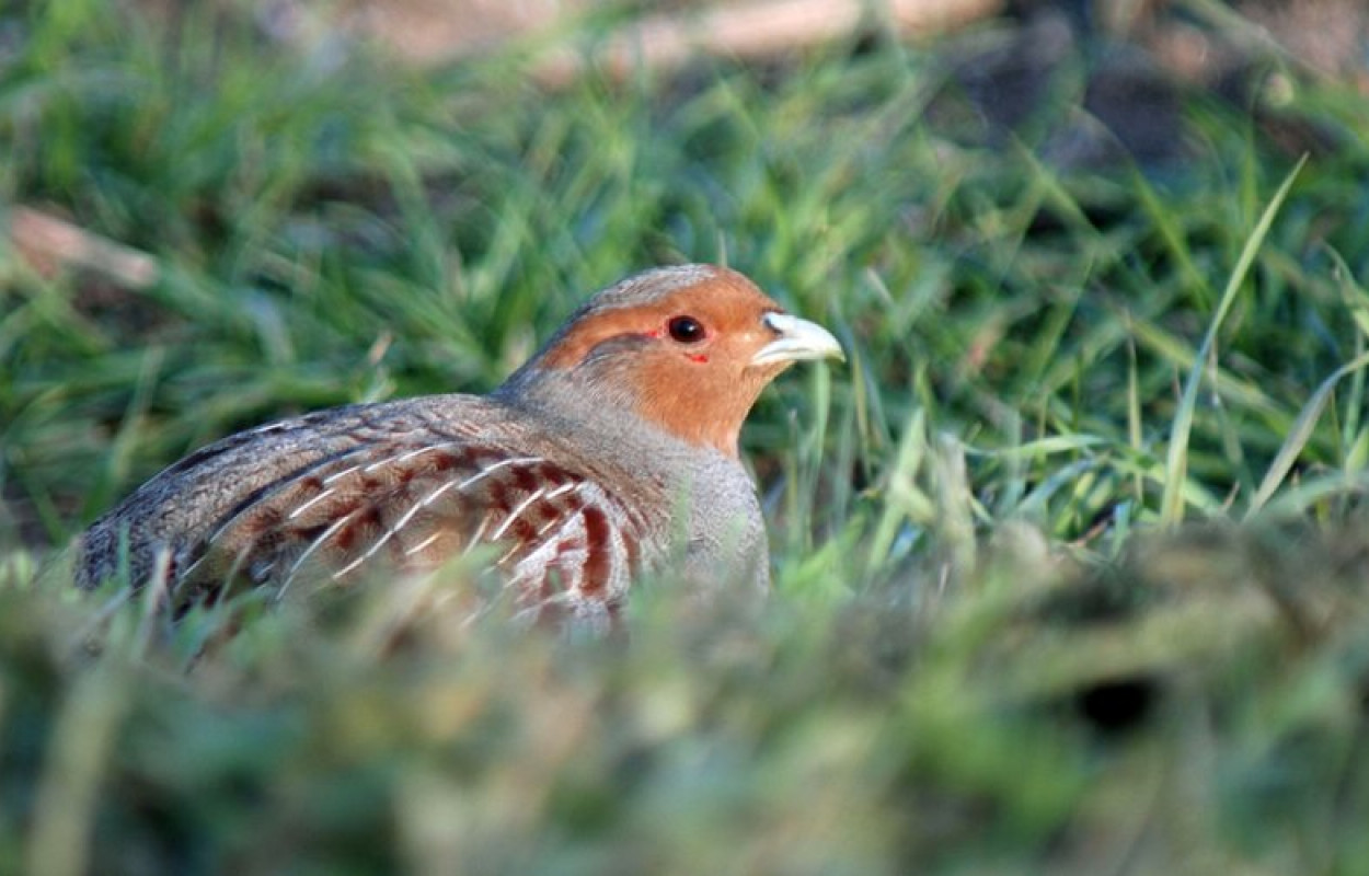 Grey Partridge, Photograph by Neil Calbrade