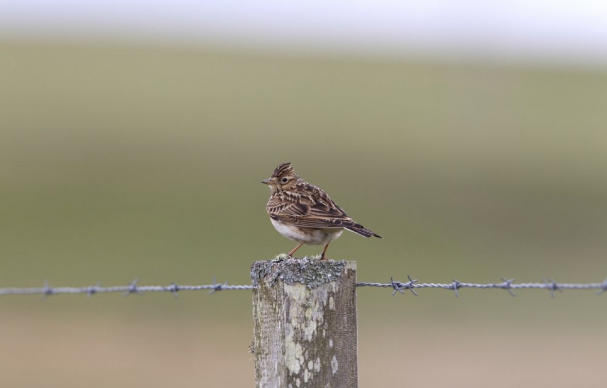 Skylark. Photograph by Morris Rendall