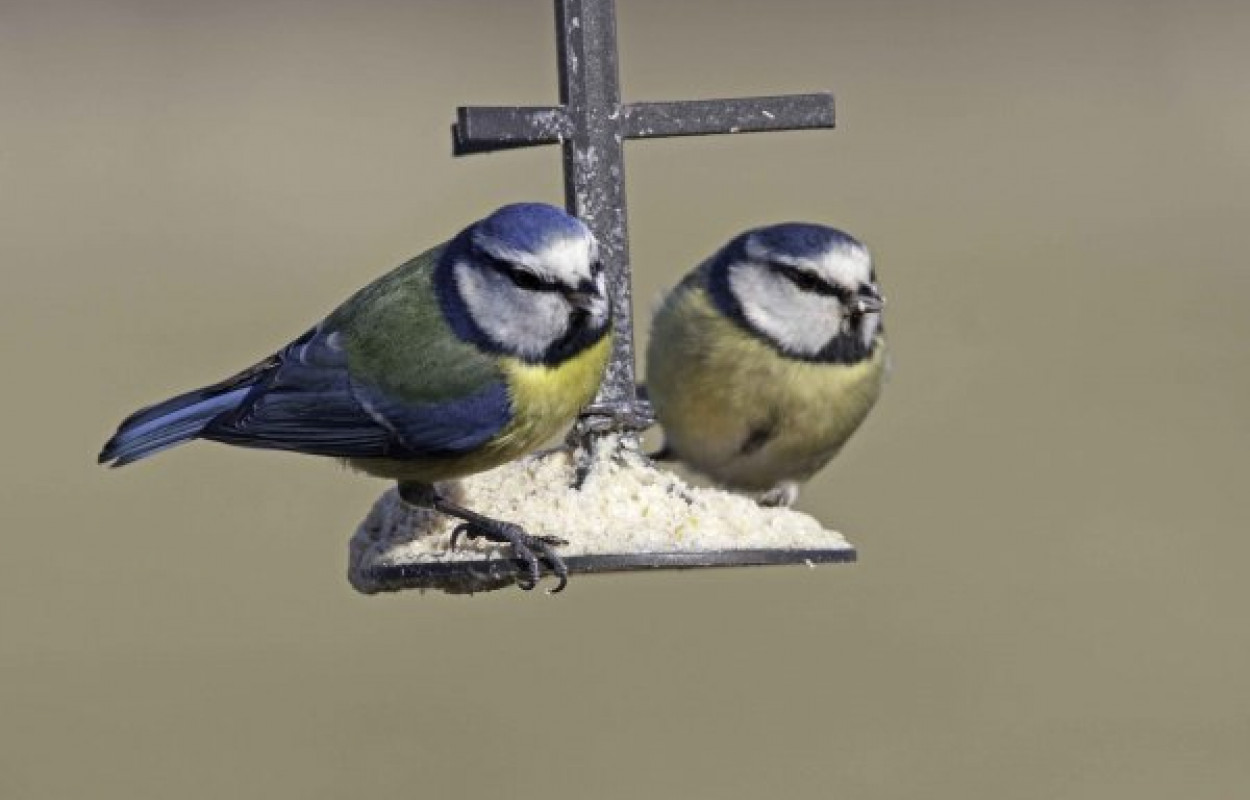 Blue Tits on Feeder by John Harding