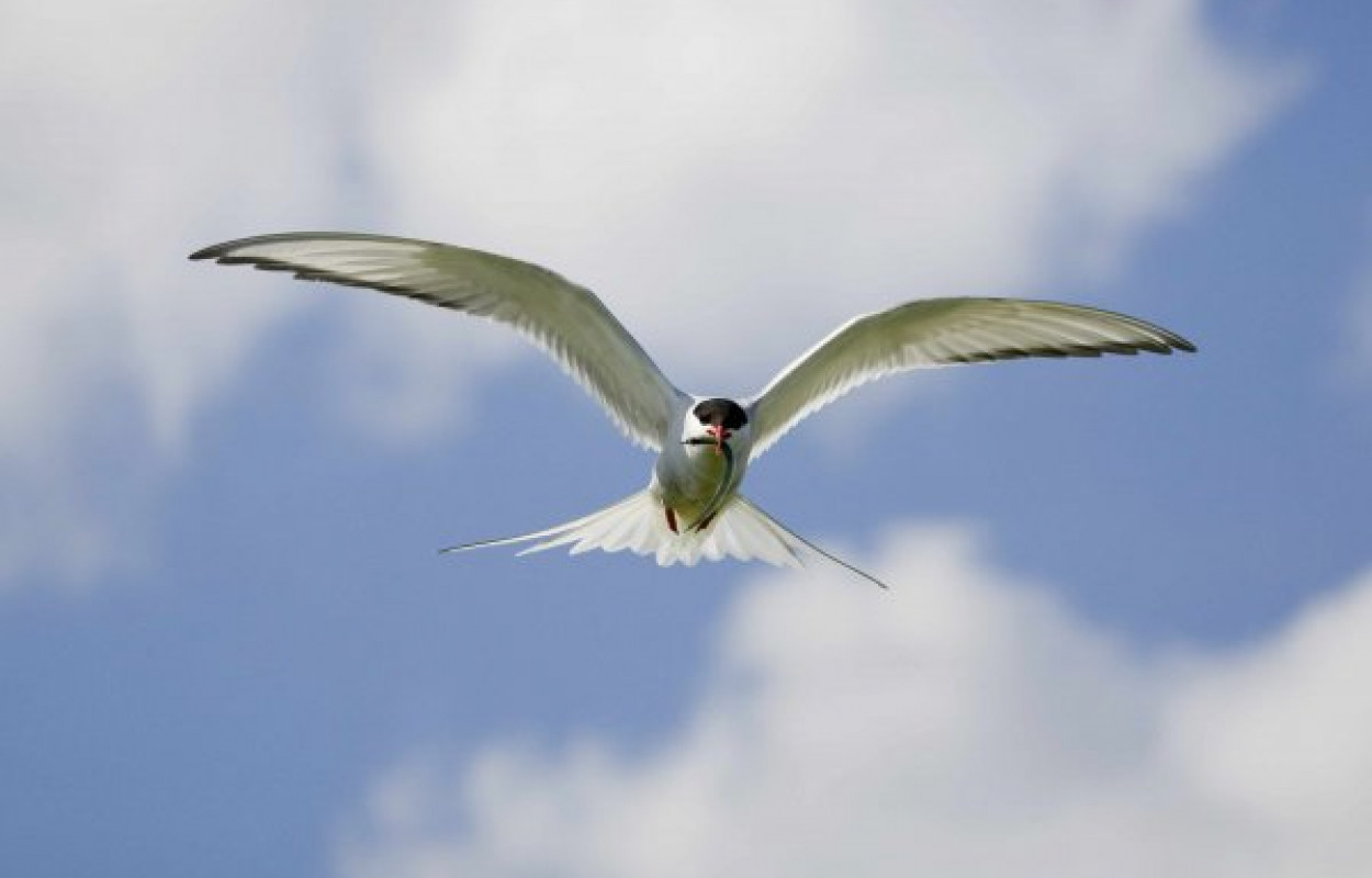 Arctic Tern. Photograph by Edmund Fellowes