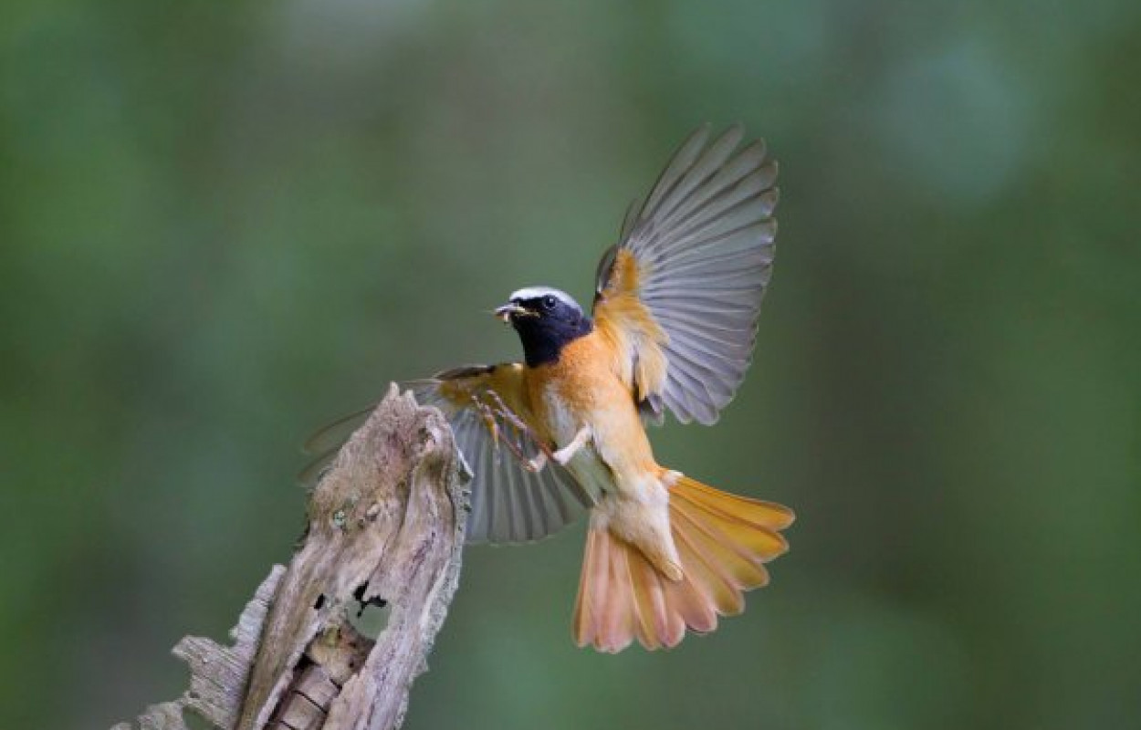 Redstart, photograph by Edmund Fellowes
