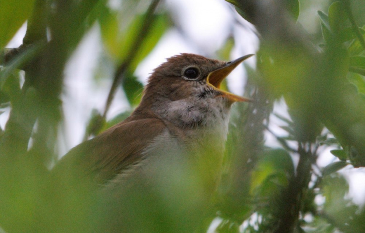 Nightingale, photograph by Amy Lewis