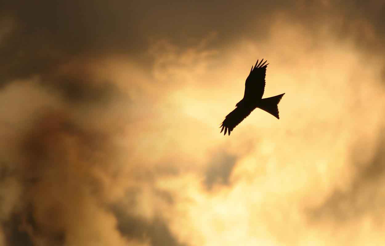 Red Kite. Jill Pakenham
