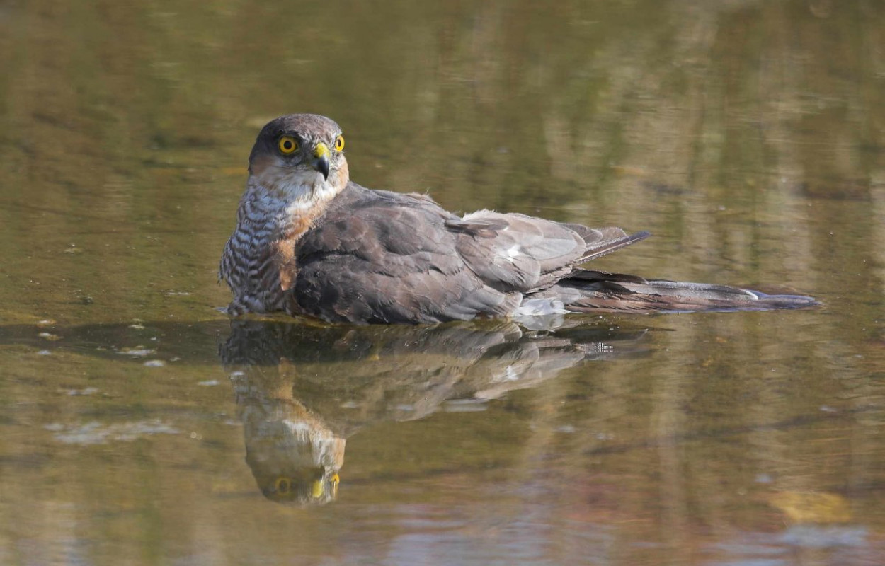 Sparrowhawk, photograph by Jill Pakenham