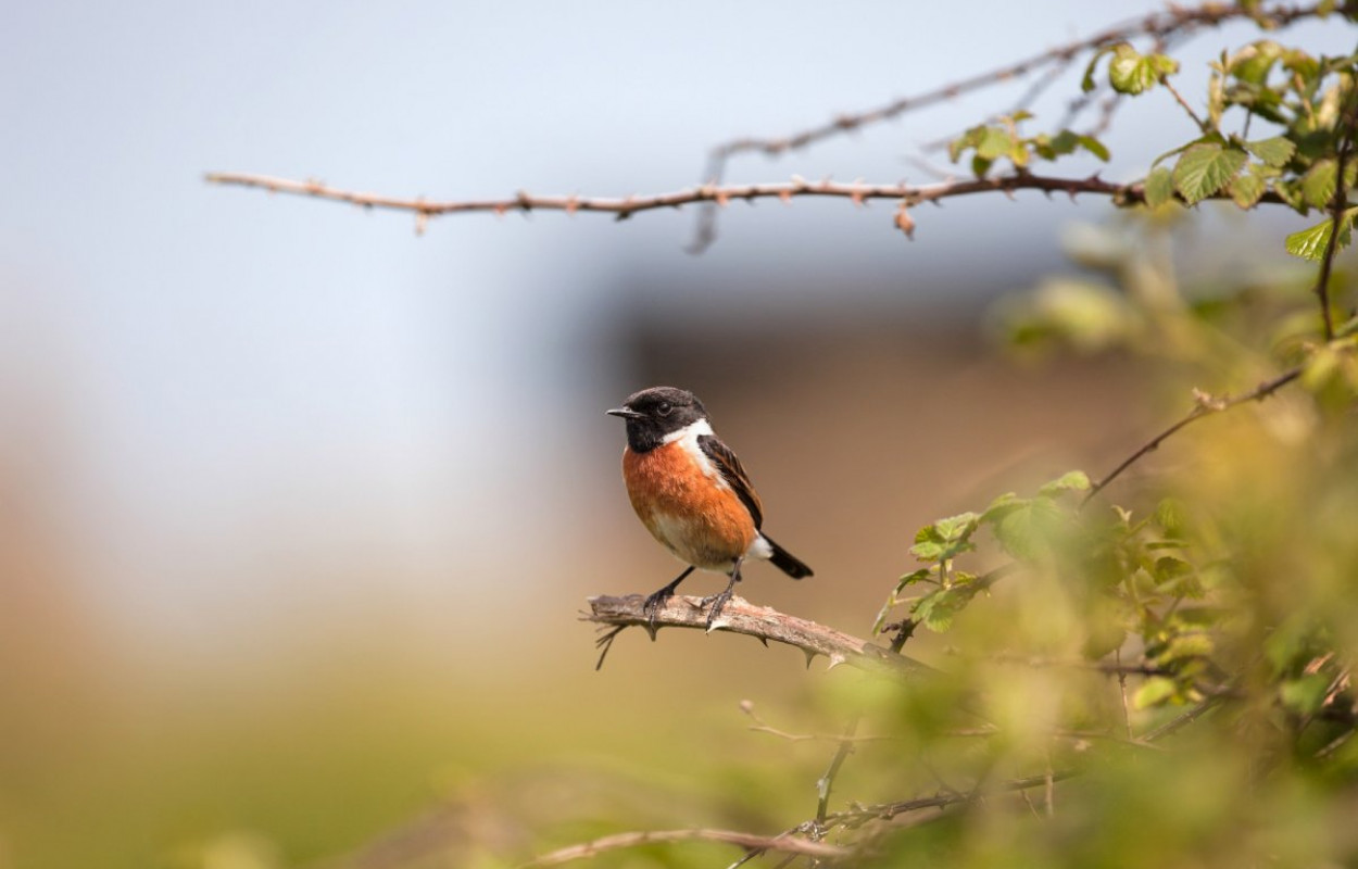 Stonechat, photograph by Graham Clarke