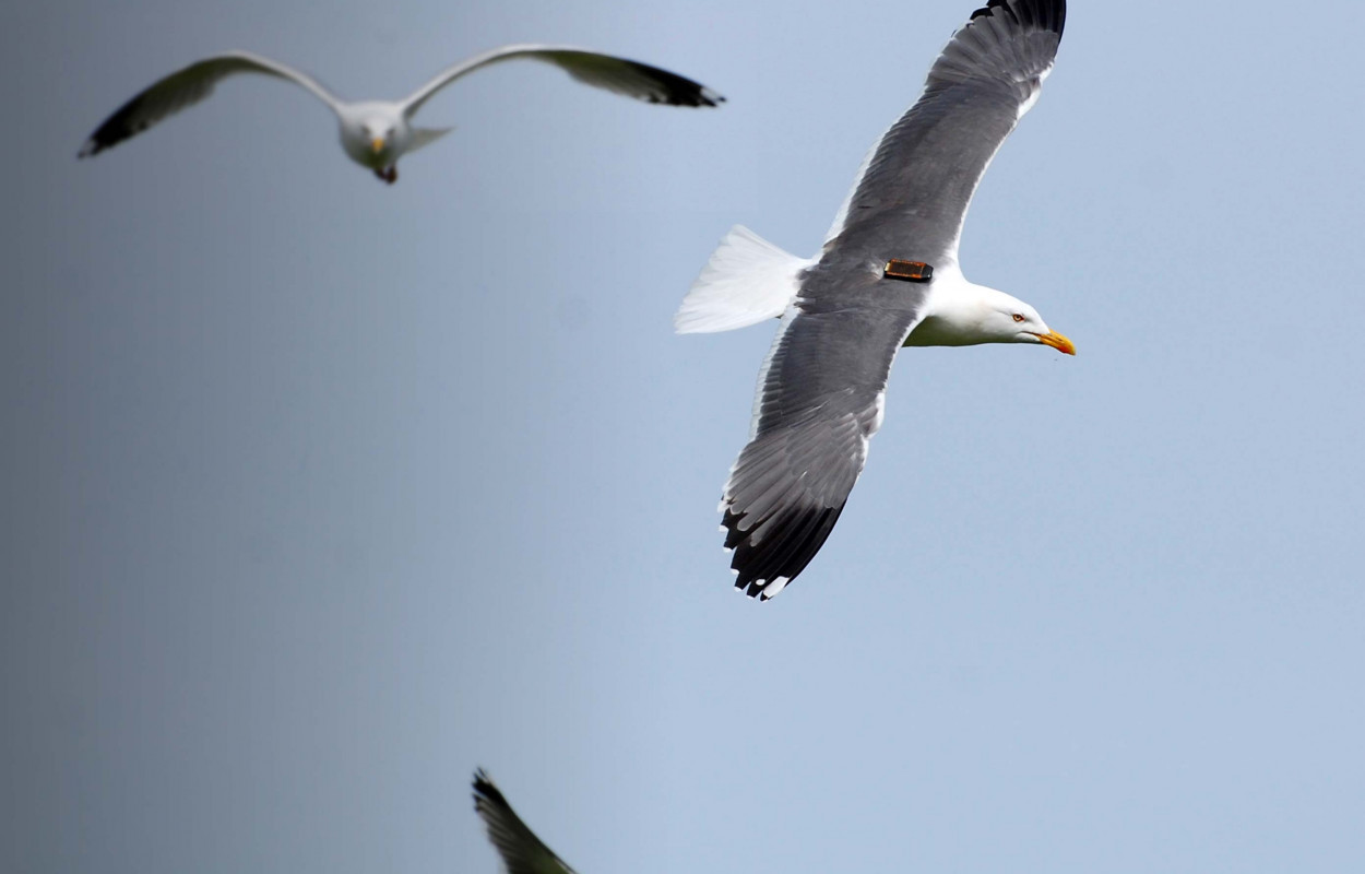 Tagged Lesser Black-backed Gull. Gary Clewley