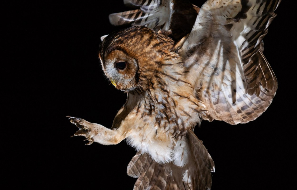 Tawny Owl coming to land by Laurence Liddy