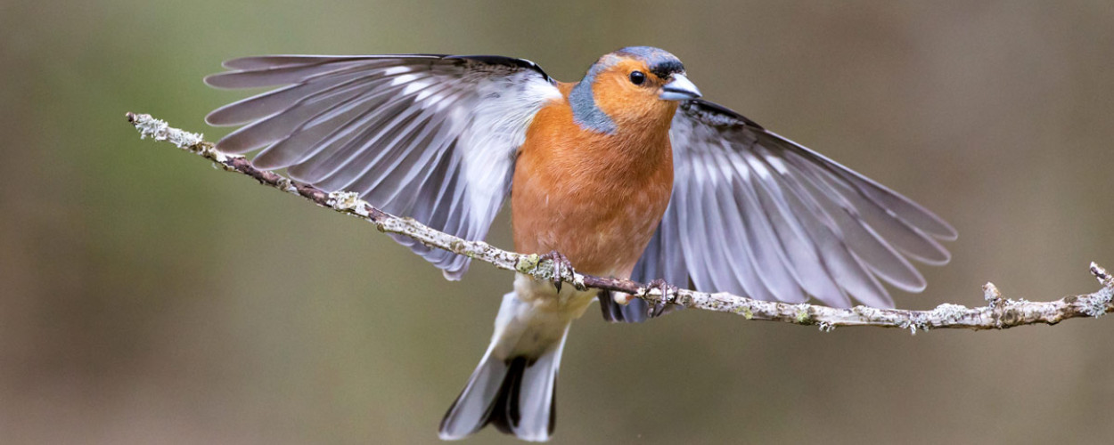 Chaffinch. Edmund Fellowes