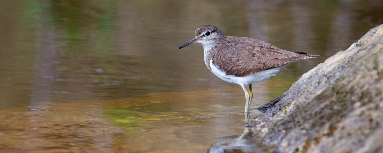Common Sandpiper. Edmund Fellowes