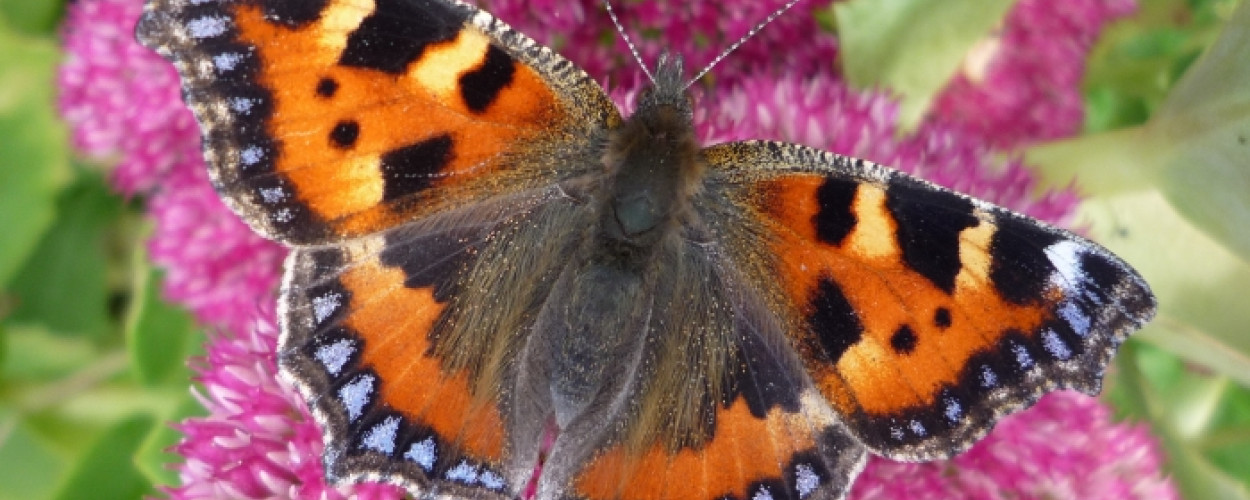 Small Tortoiseshell on Sedum by Martin Warren