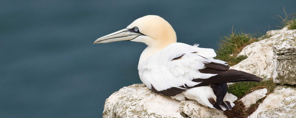 Gannet resting on a rock