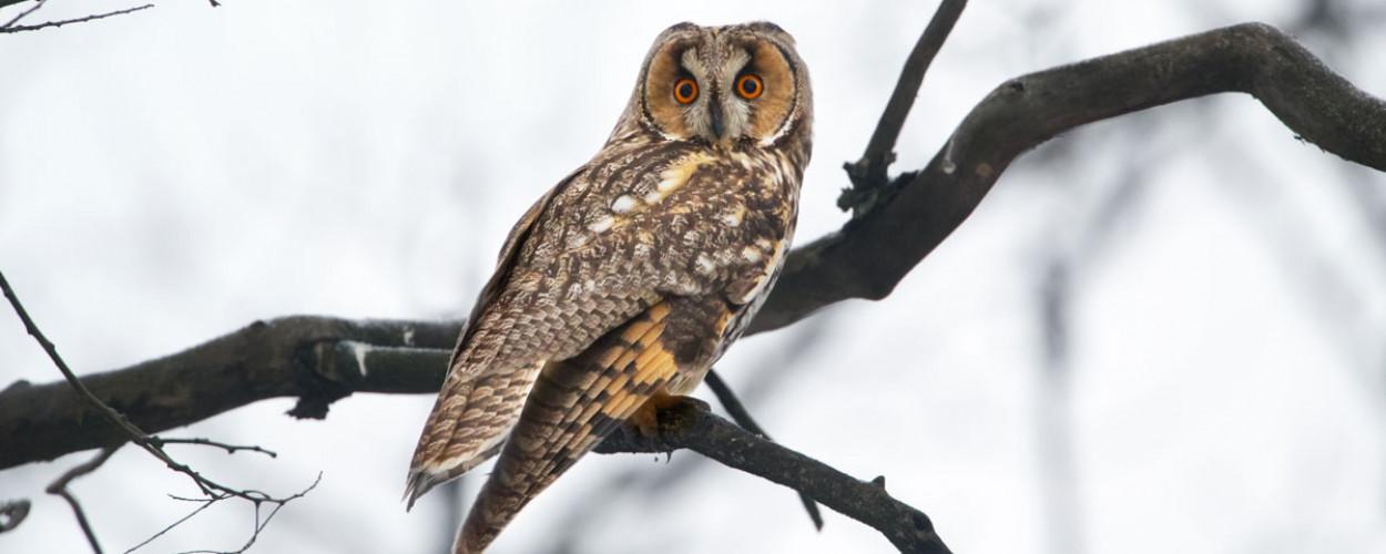 Long-eared Owl. Edmund Fellowes