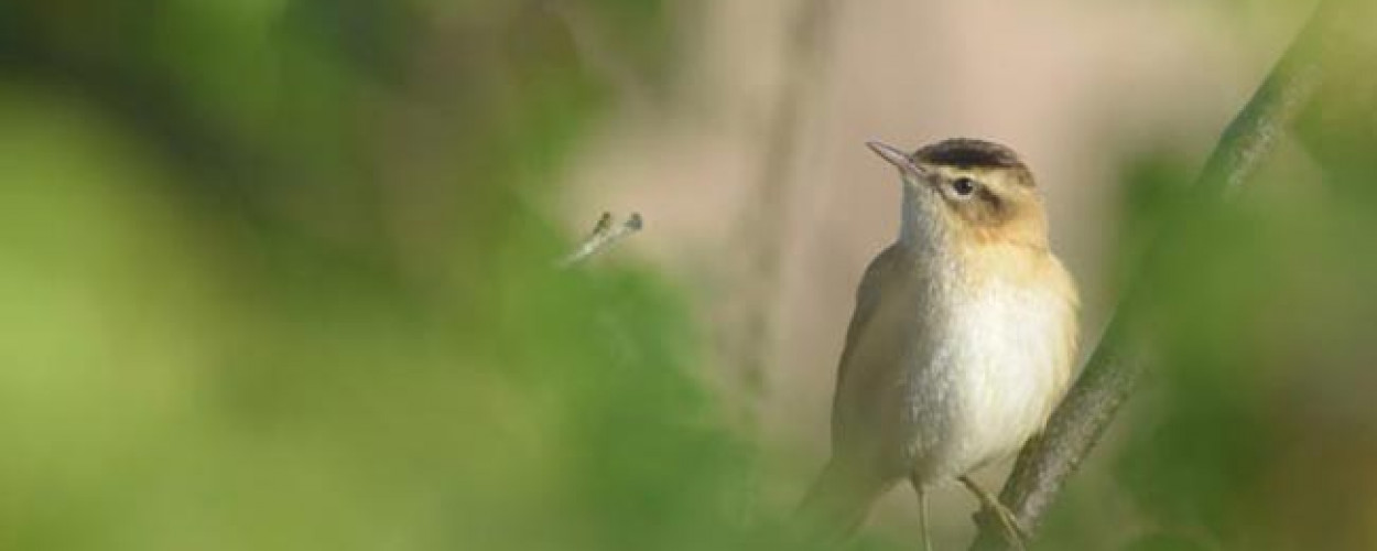 Sedge Warbler. Bethan Clyne