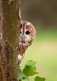 Tawny Owl by Howard Stockdale