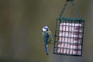 Blue Tit, by Paul Newton