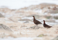 Red Grouse - Sarah Kelman