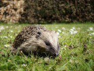 Hedgehog. Sarah Kelman