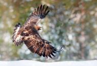 Golden Eagle. Photograph by Sarah Kelman