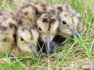 Curlew chicks, photograph by Hugh Insley