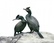 Shags by Andrew Cleeve