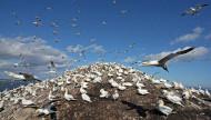 Gannets. Photograph by Jill Pakenham