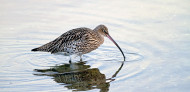 Curlew. Photograph by John Harding
