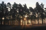 Conifer plantation. Photograph by Mike Toms.