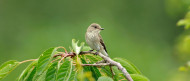 Spotted Flycatcher. Photograph by Jonathan Tyler