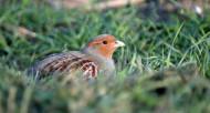 Grey Partridge, Photograph by Neil Calbrade
