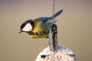 Great Tit on fat feeder, photograph by John Harding