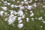 Cotton grass by Anne Carrington-Cotton