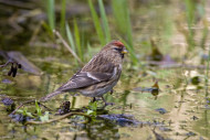 Lesser Redpoll, photograph by Chris Knights