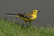 Yellow Wagtail, photograph by Jill Pakenham