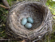 Blackbird nest, photograph by Herbert&Howells