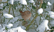 Wren. Photograph by John Harding