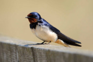 Swallow by Amy Lewis
