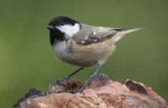 Coal Tit. Photograph by Jill Pakenham