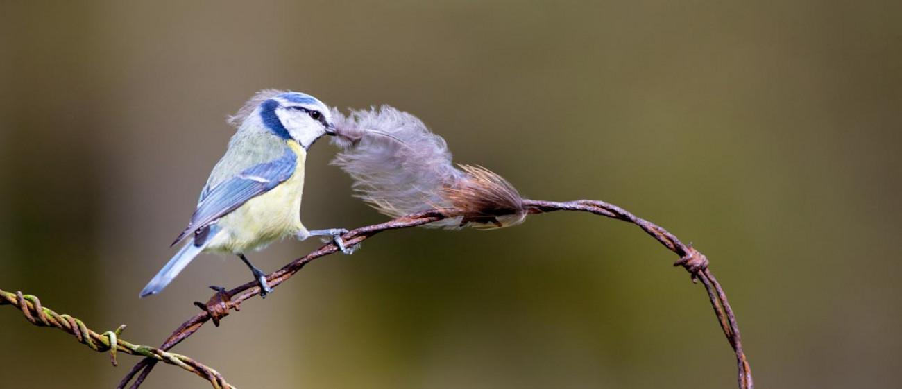 Blue Tit. Edmund Fellowes