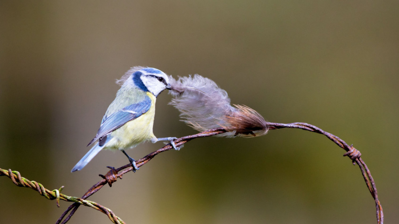 Blue Tit collecting feathers. Edmund Fellowes