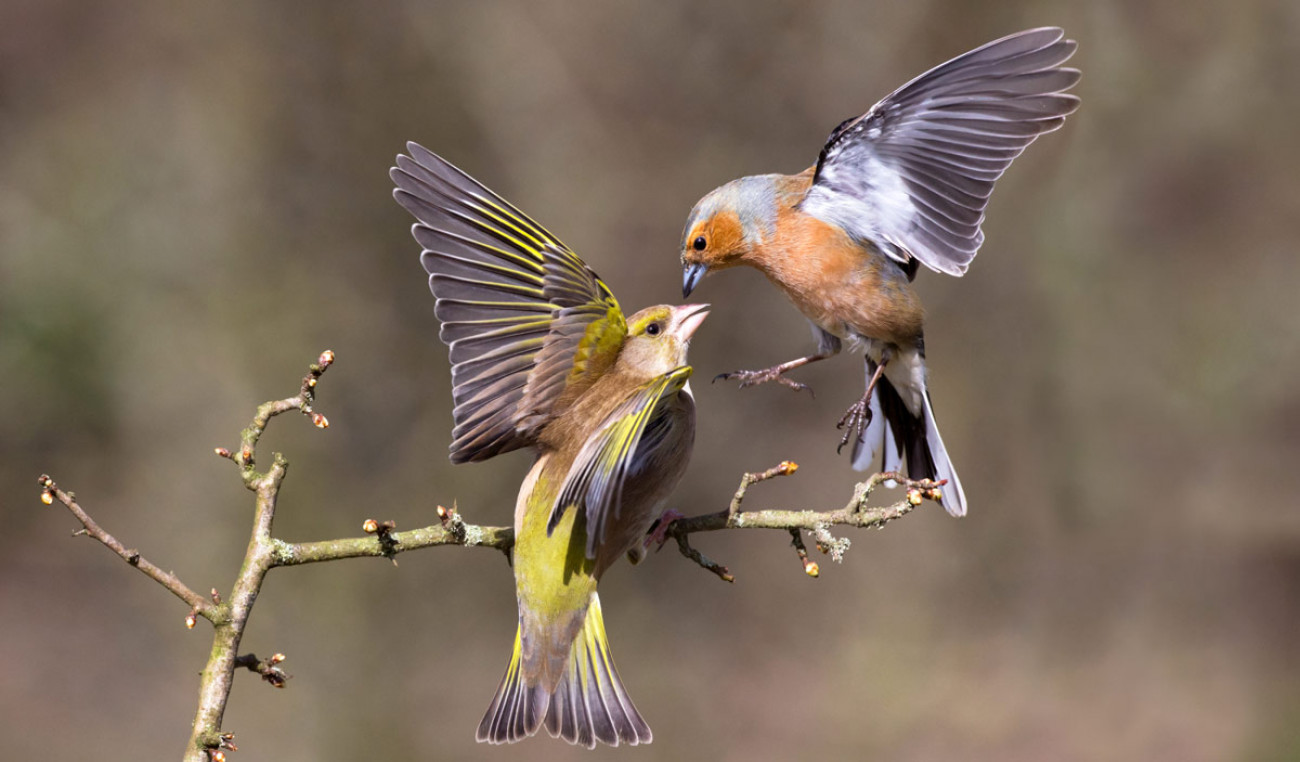 Chaffinch and Greenfinch. Edmund Fellowes