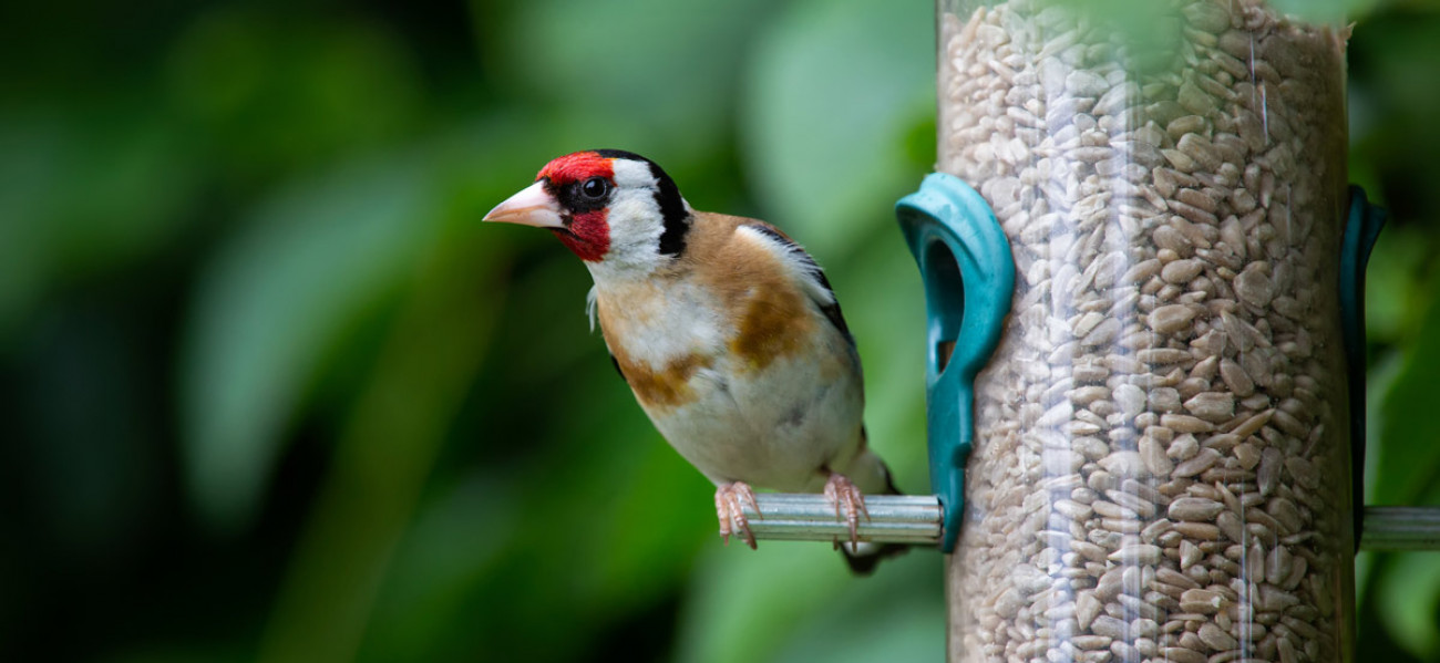 Goldfinch. Anthony Brown@adobestock