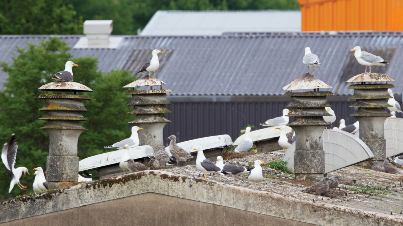 Herring Gulls and Lesser Black-backed Gulls nesting inland. Edmund Fellowes