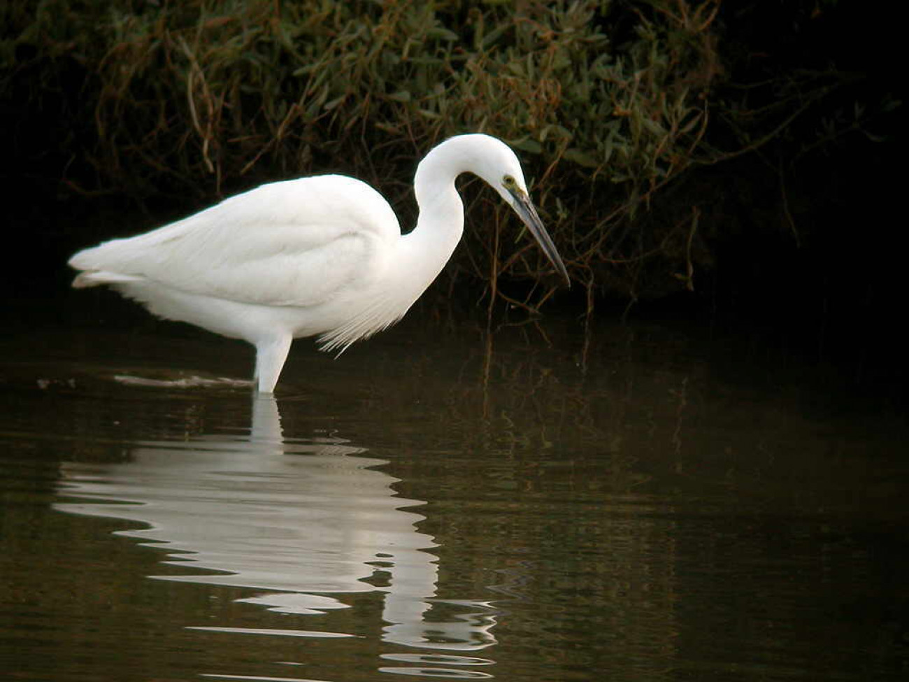 Little Egret by Al Downie