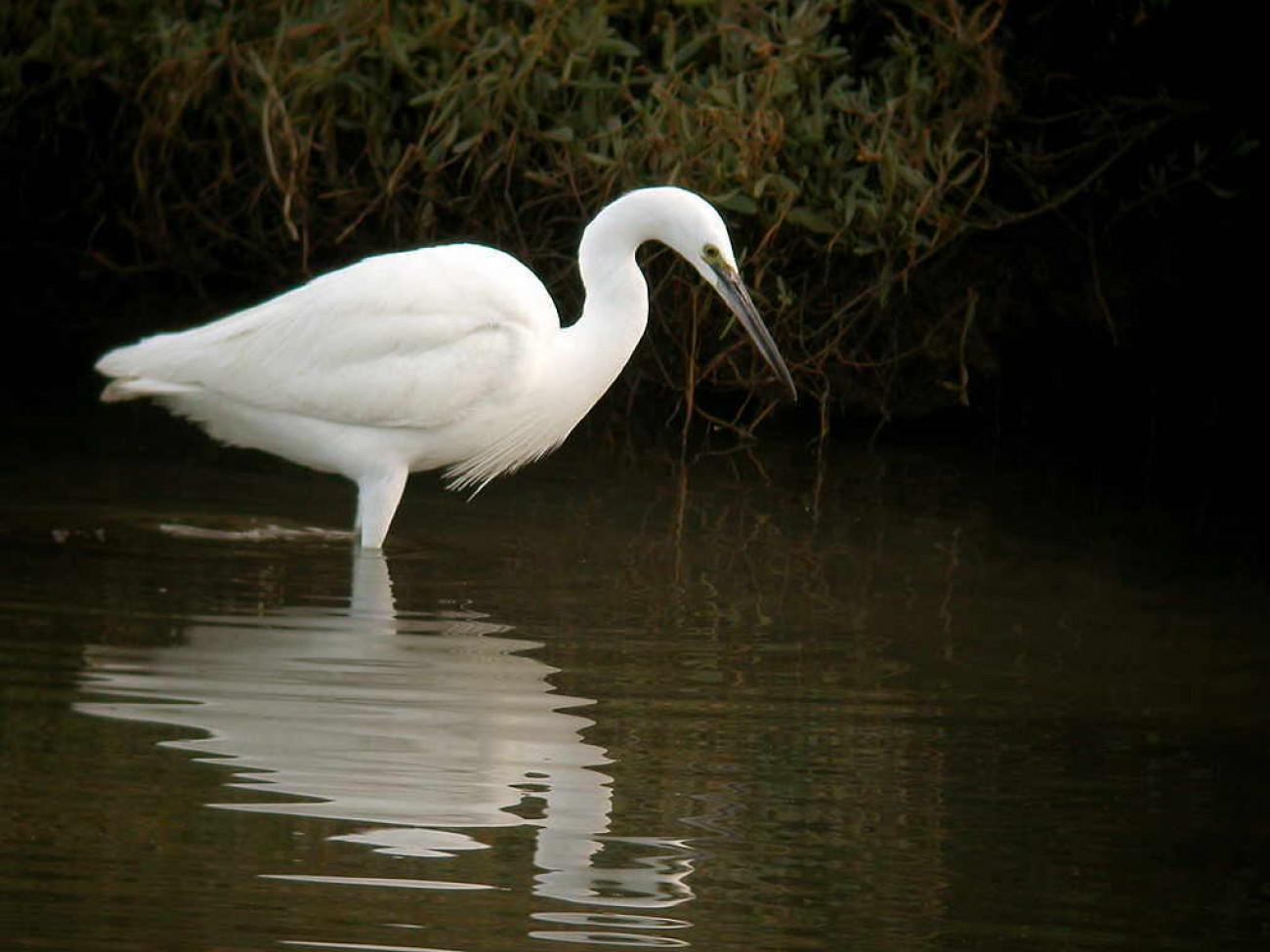 Little Egret by Al Downie