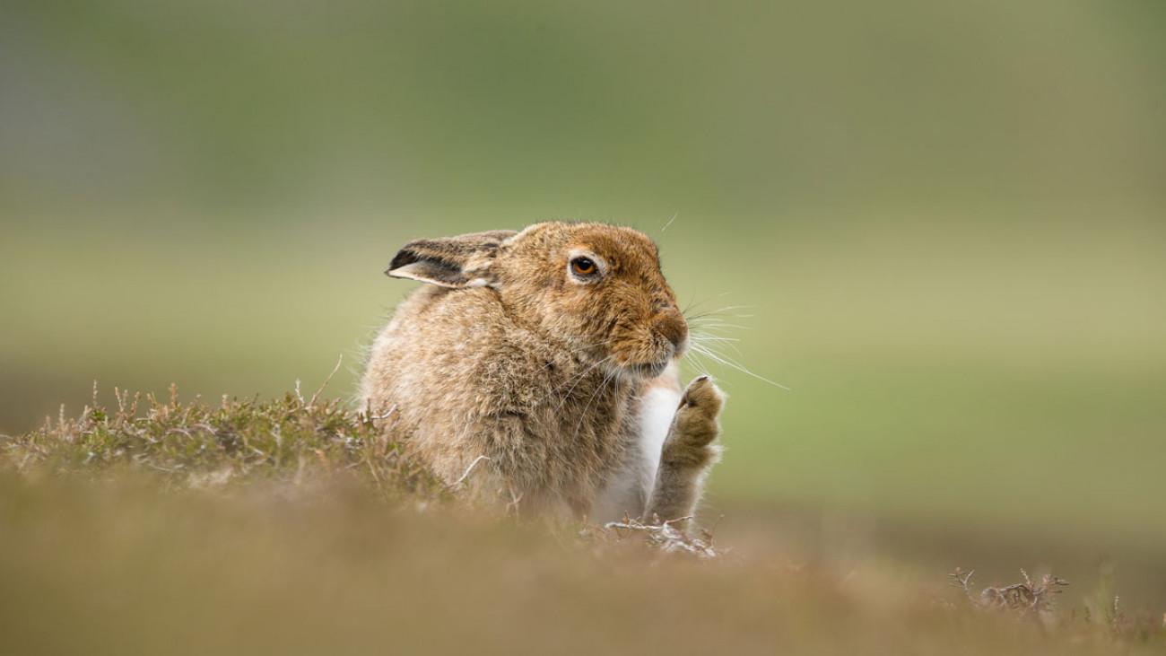 Mountain Hare. Andy Howard